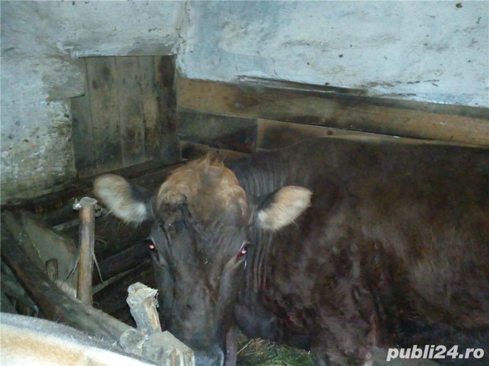Vand vaca si vitel