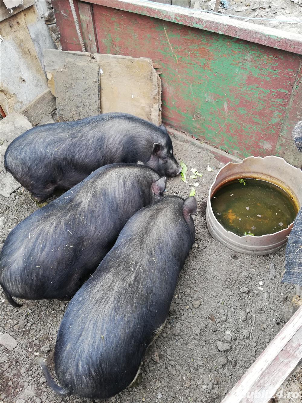 Porci virnamezi