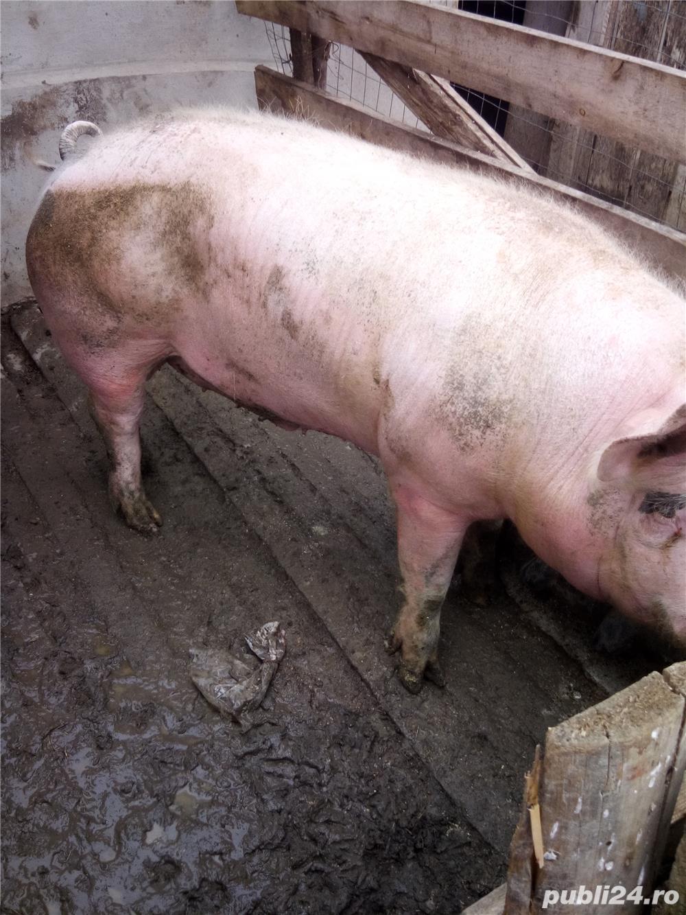 Porc de carne