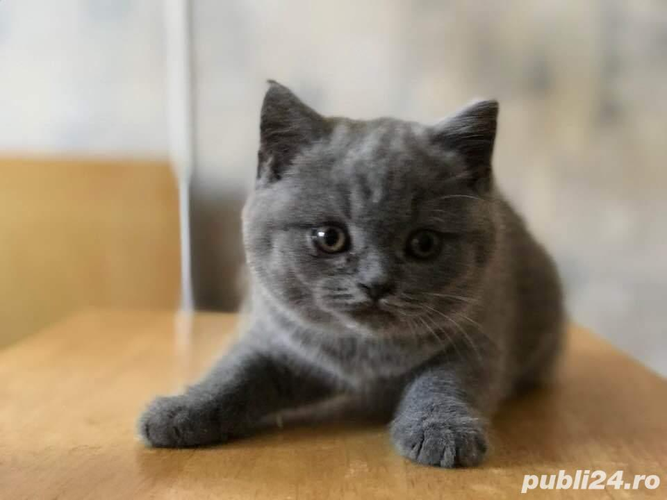 Pui british shorthair superbi!
