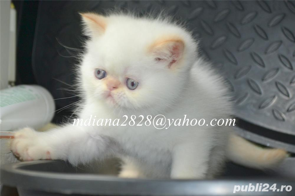 Vand pui persan Exotic Shorthair Color Point Red  !!!