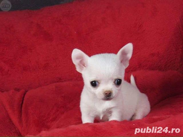 Catelusi Chihuahua Mini Toy de vanzare cu garantie