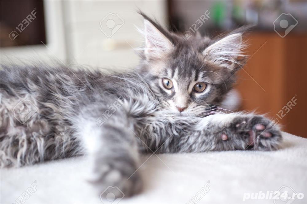 pisicute maine coon superbe