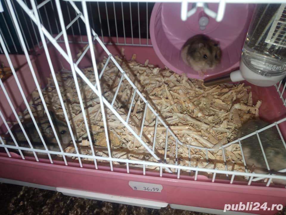 Vand hamsteri siberian pitici