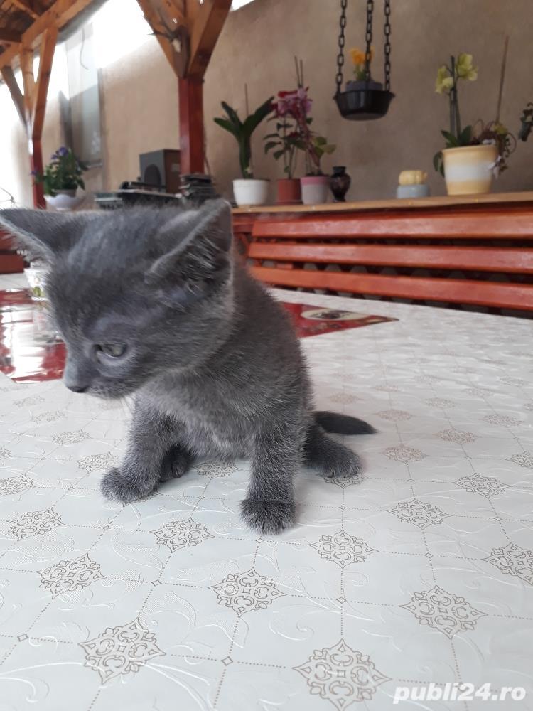Vând pisici Albastru de Rusia