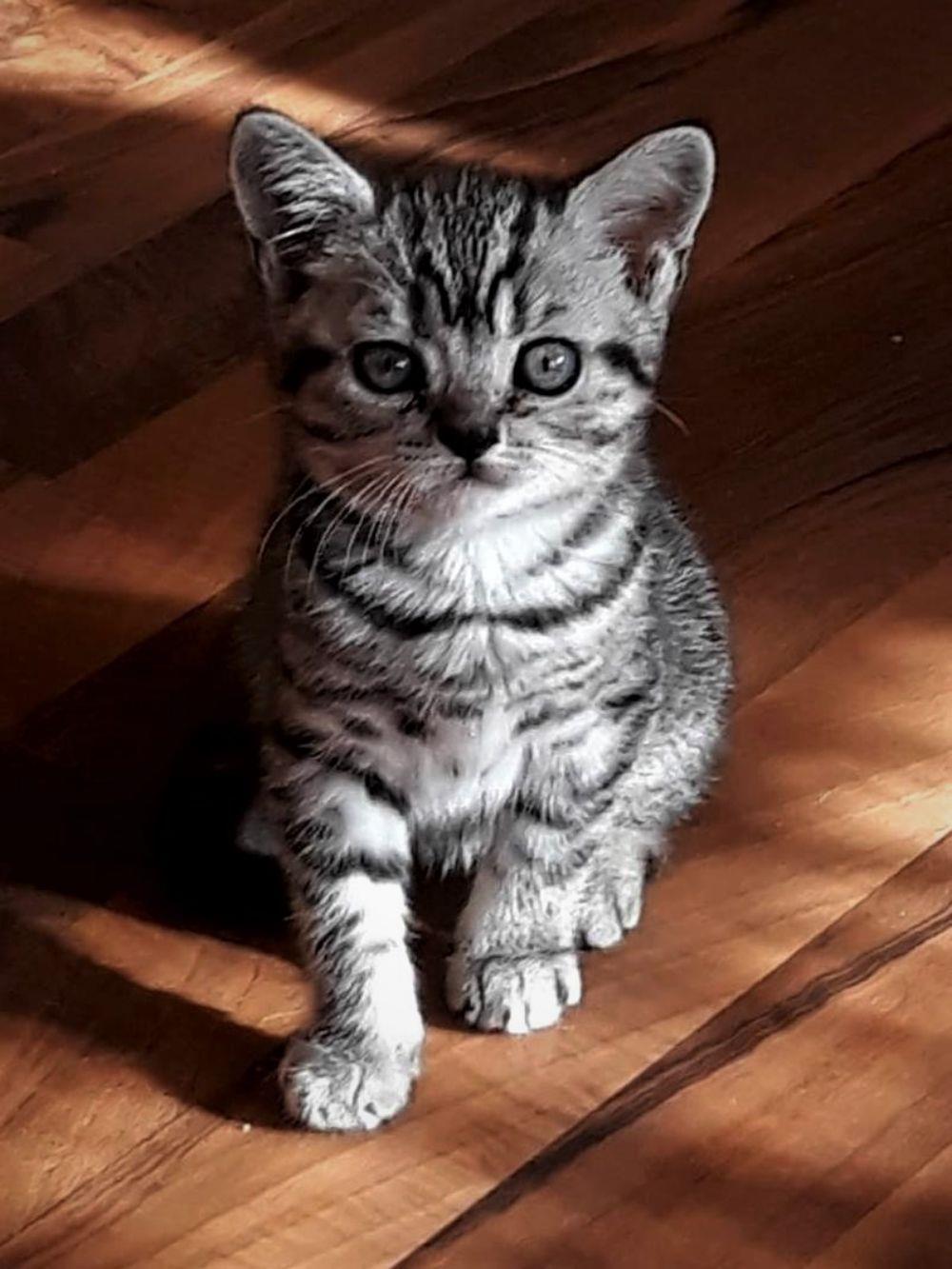 Vand pisicute British Shorthair Silver Tabby