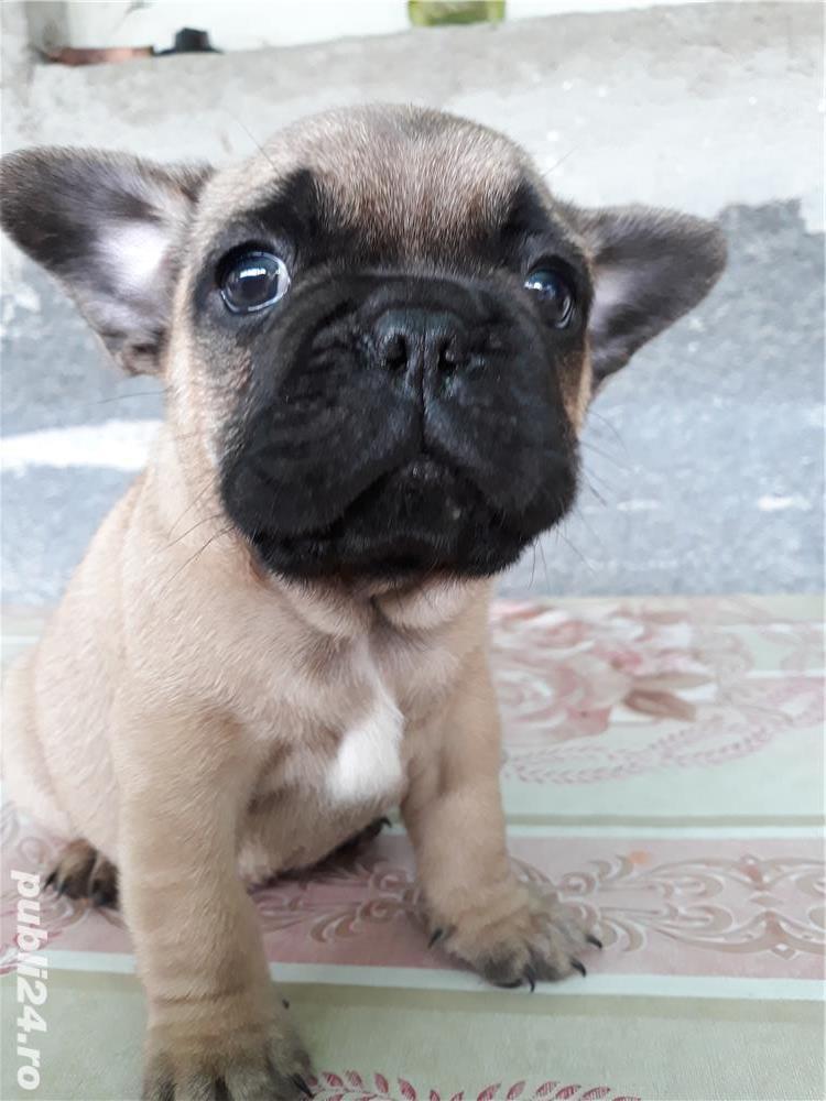 Pui bulldog francez