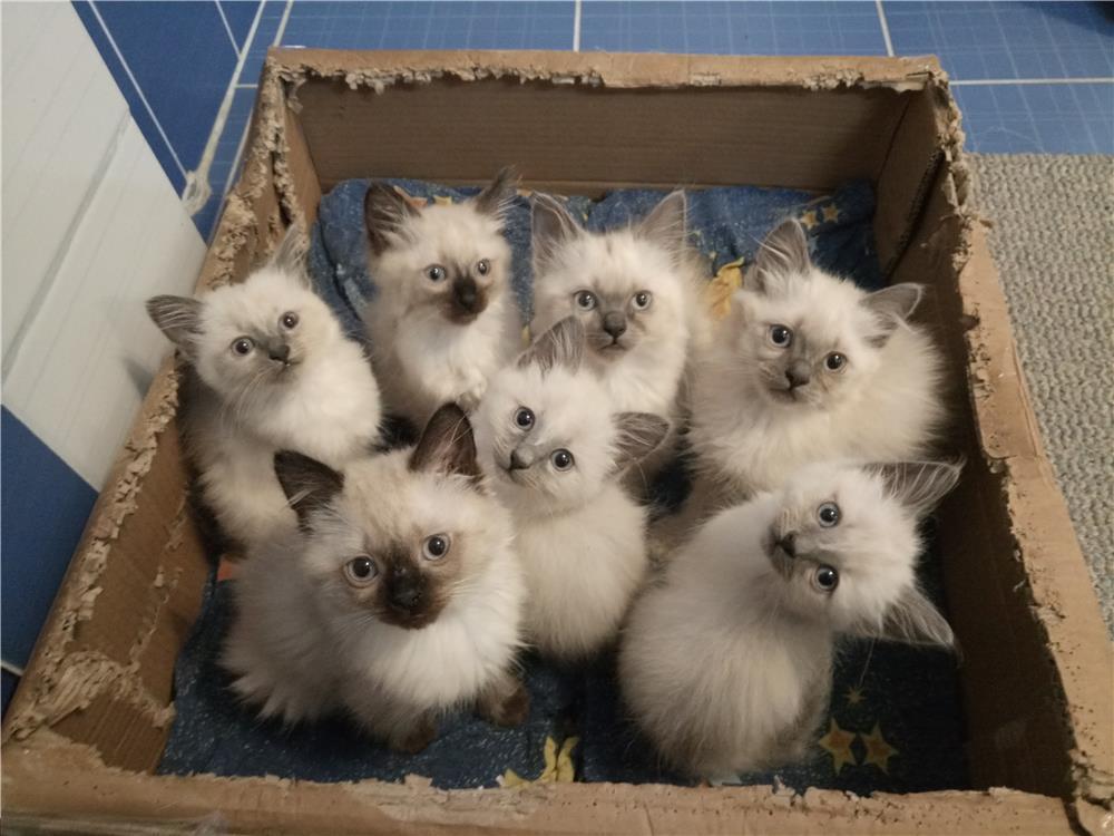 Pisici mici și scumpici de birmaneza