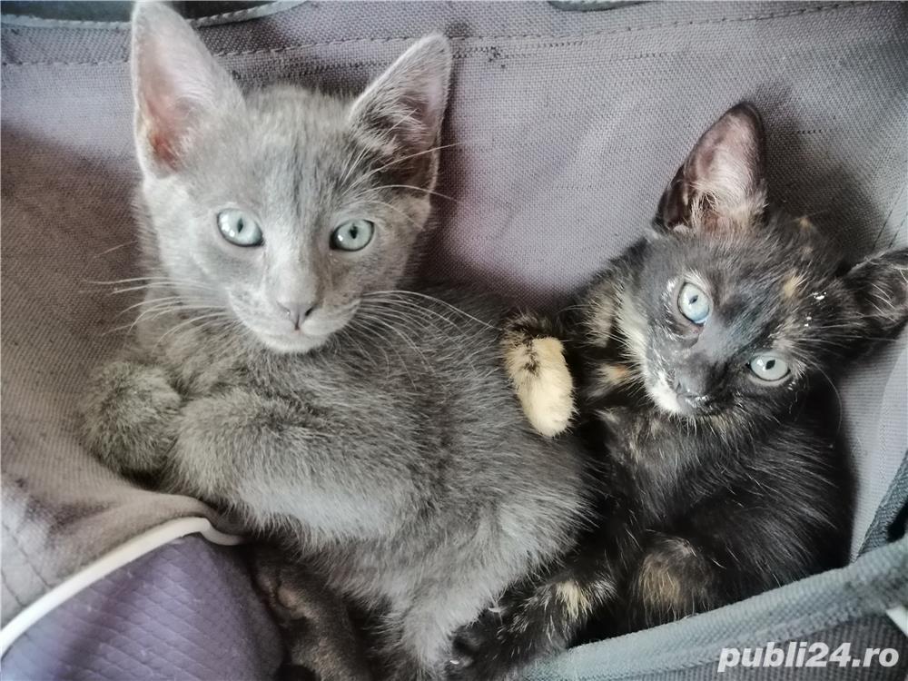 pui de pisica spre adoptie