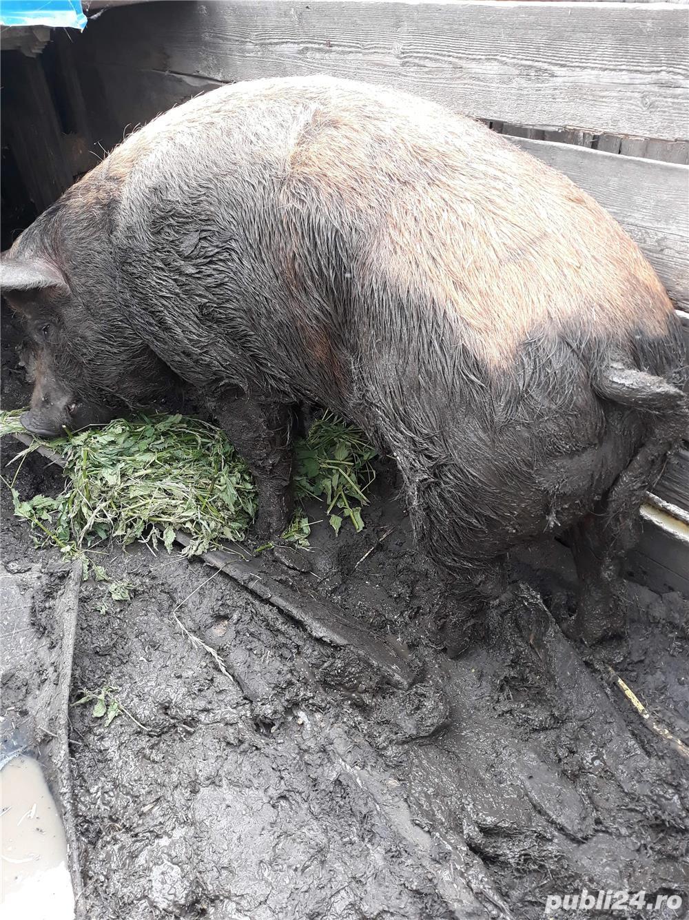 Porc de 400 kg pret 7 lei hg