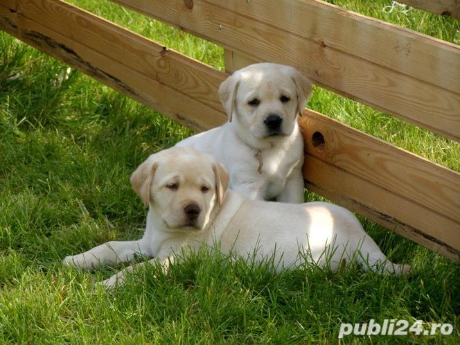 Labrador Retriever, par scurt, rasa pentru copii, foarte jucausi