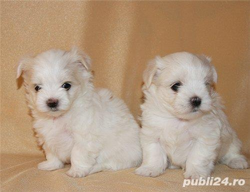 Bichon Maltez mini, albi imaculati, 2 luni