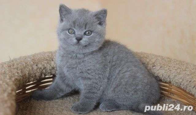 Pisici British Shorthair Blue, genetic de top