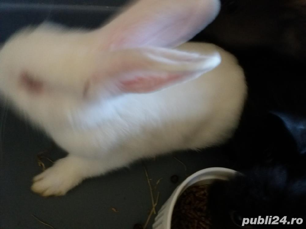 Vand iepuri pitici Pitesti