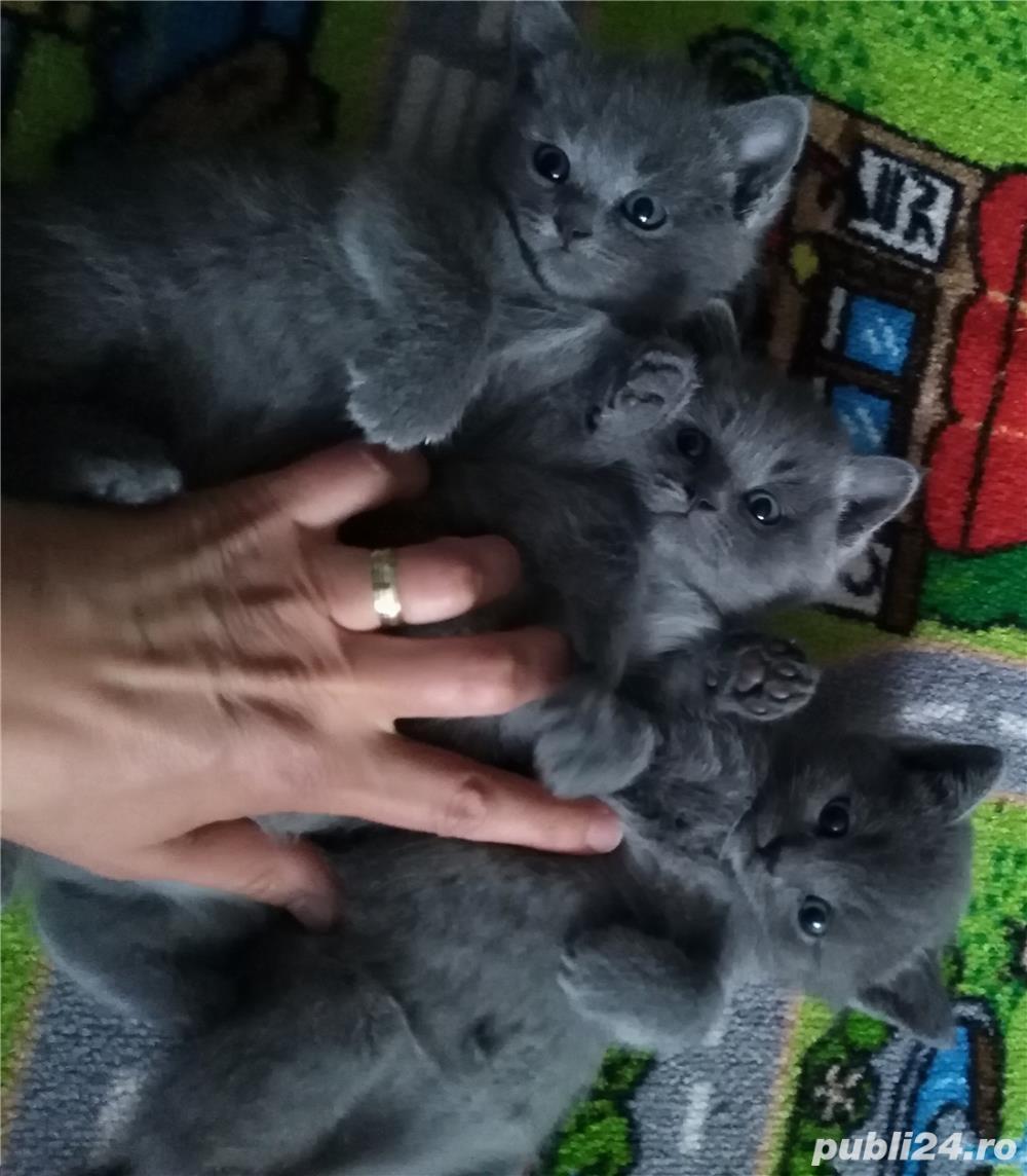 vanzare fetita british shorthair blue