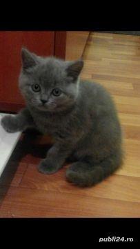 Pui pisica british shorthair blu!