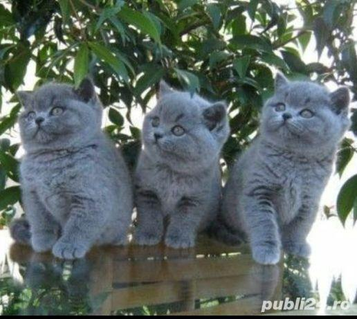 Pisicute british shorthair!