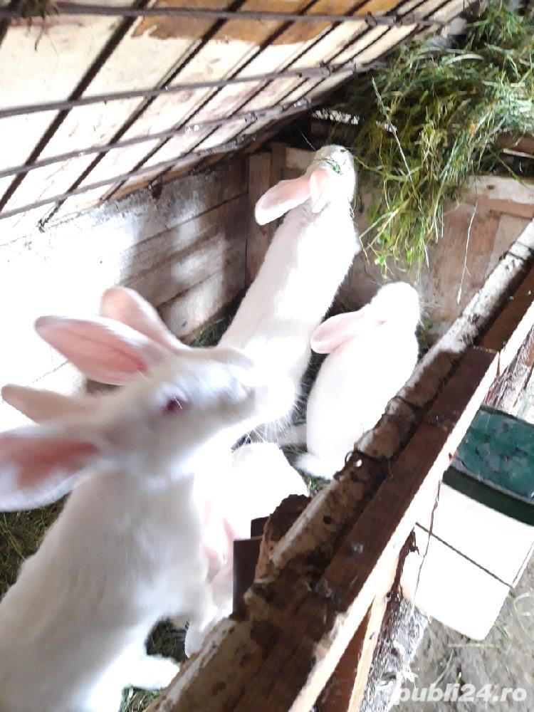 Vînd iepurii haycol