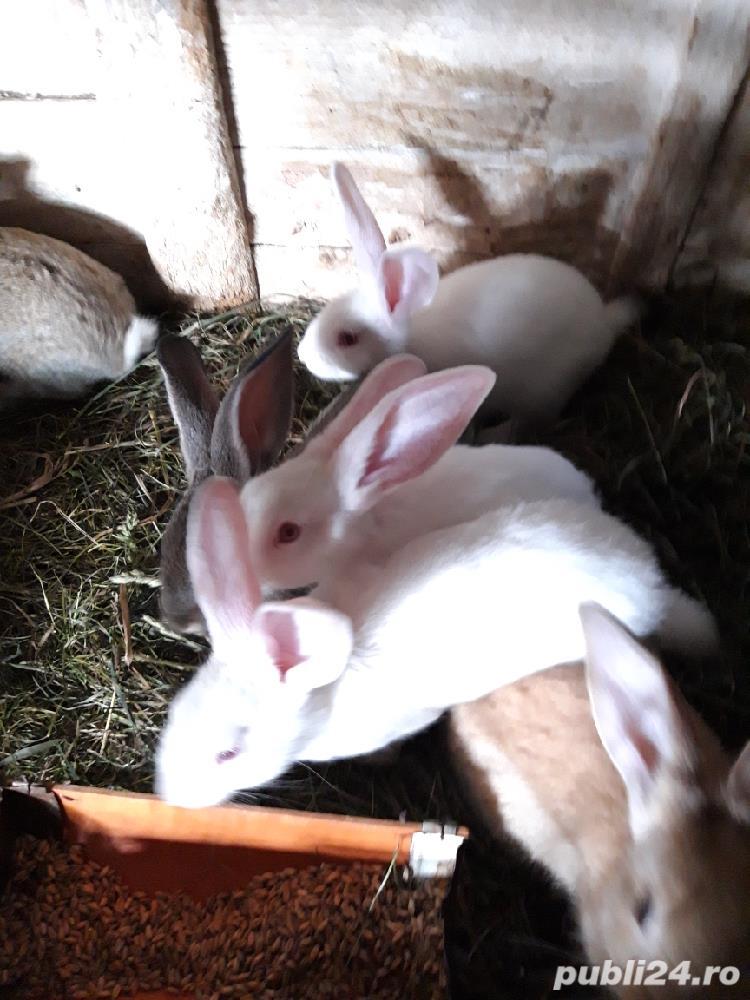Vind iepurii haycol