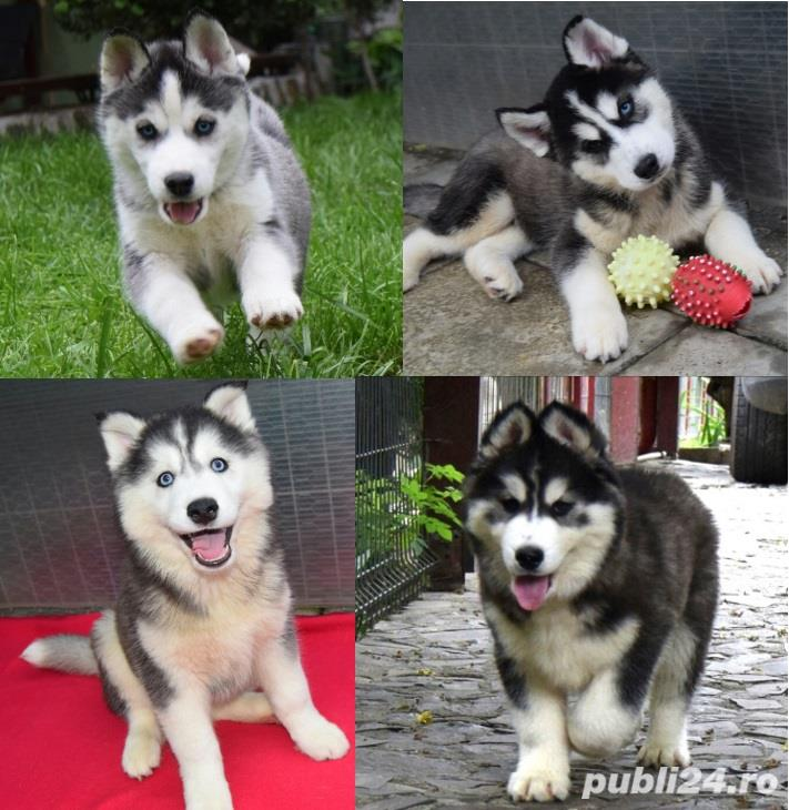 Husky Siberian pedigree A