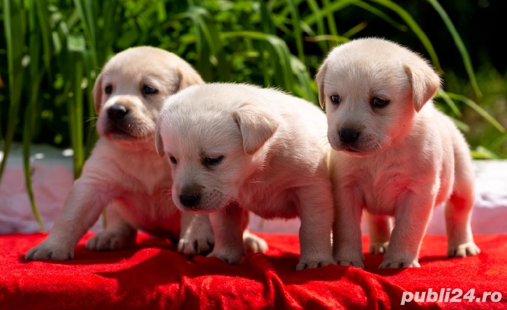 Labrador Retriever negrii și galbeni