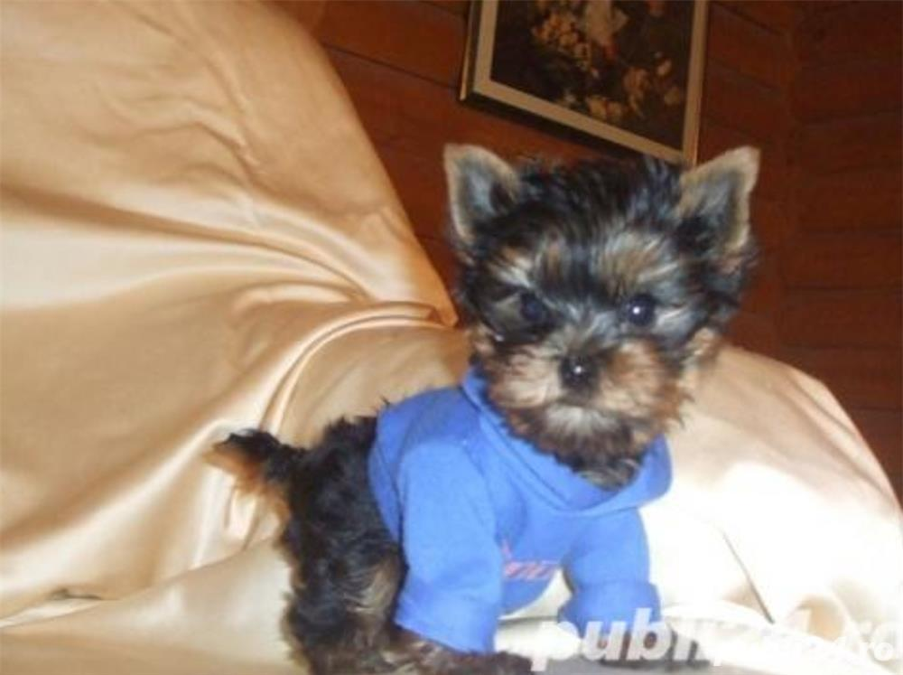 Yorkshire terrier mini toy rasa pura- 0757796023