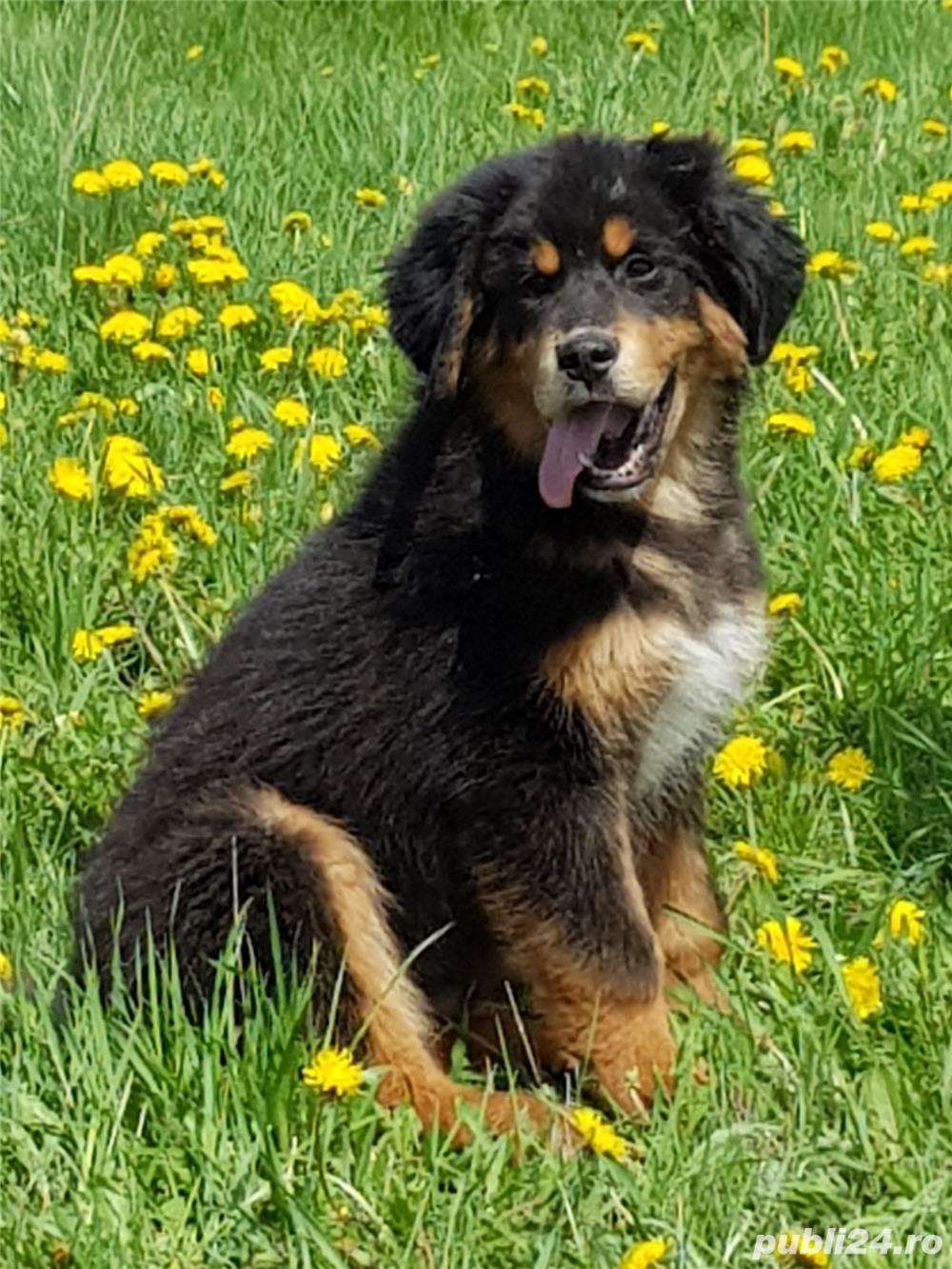 Pui mastiff tibetan de 5 luni de vanzare!