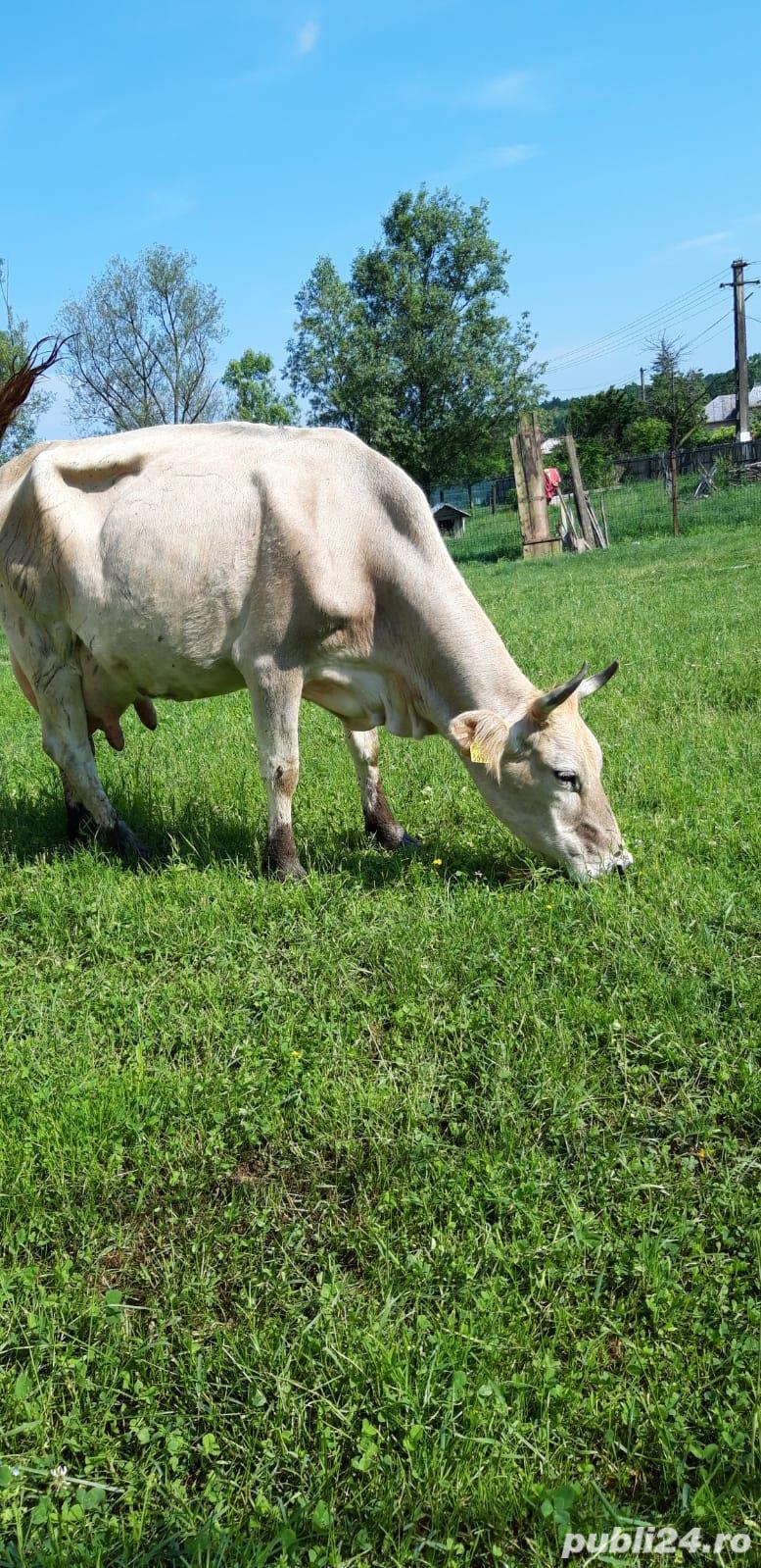Vând vaca de lapte!