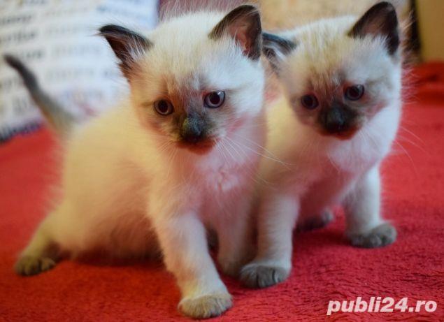 Vand puiuti pisica, Birmanezi,  (un mascul disponibil)