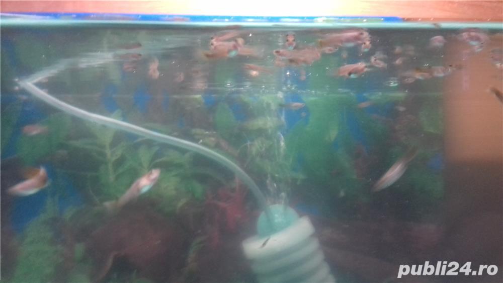 Pești acvariu