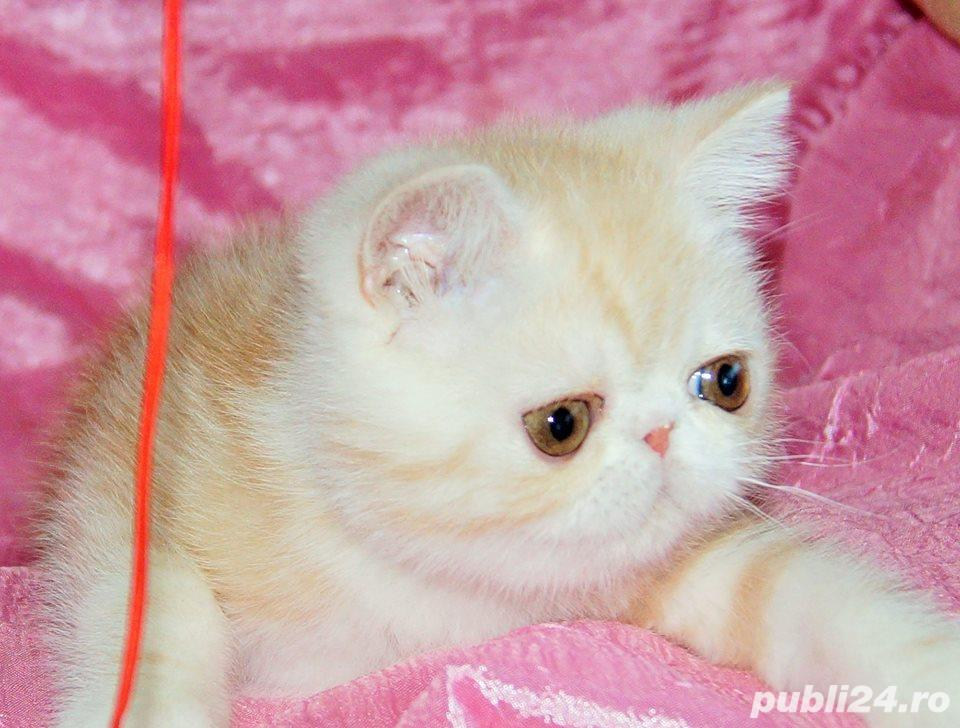 motanel rasa persana exotic shorthair extremal