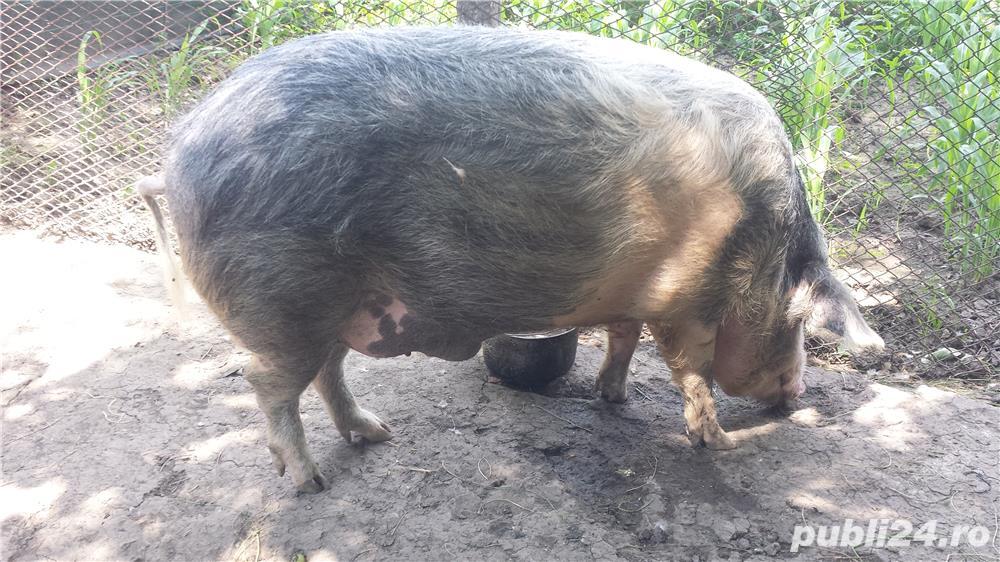 Porc Romanesc