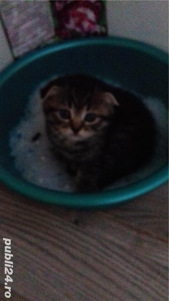 Pui pisică Brithish Shorthair