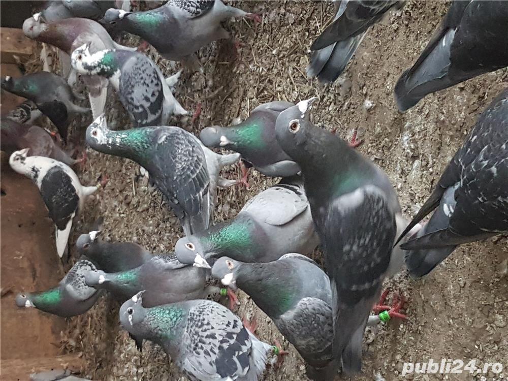 Porumbei straini