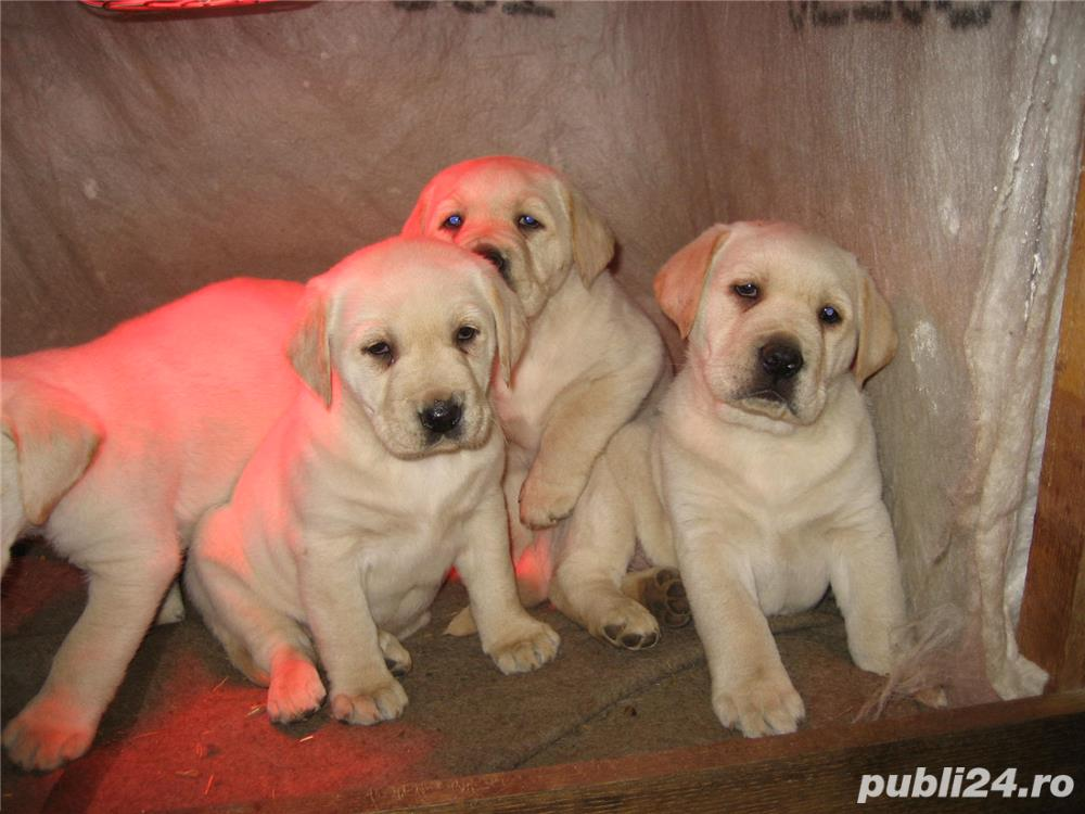 Labrador retriever, pui de vanzare