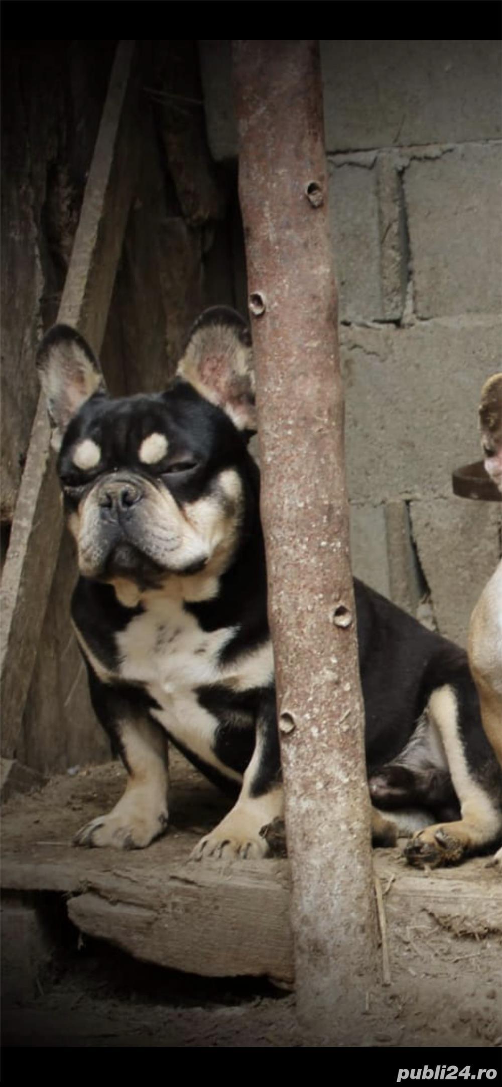 Bulldog / buldog francez pt monta black and Tan