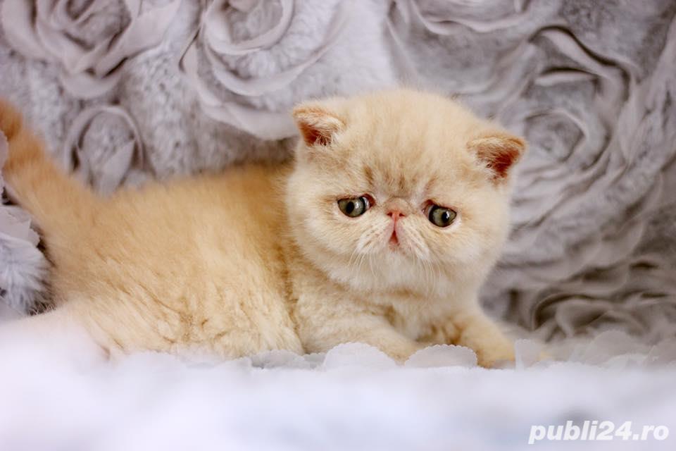 pisicuta persana exotic shorthair crem(poze reale)