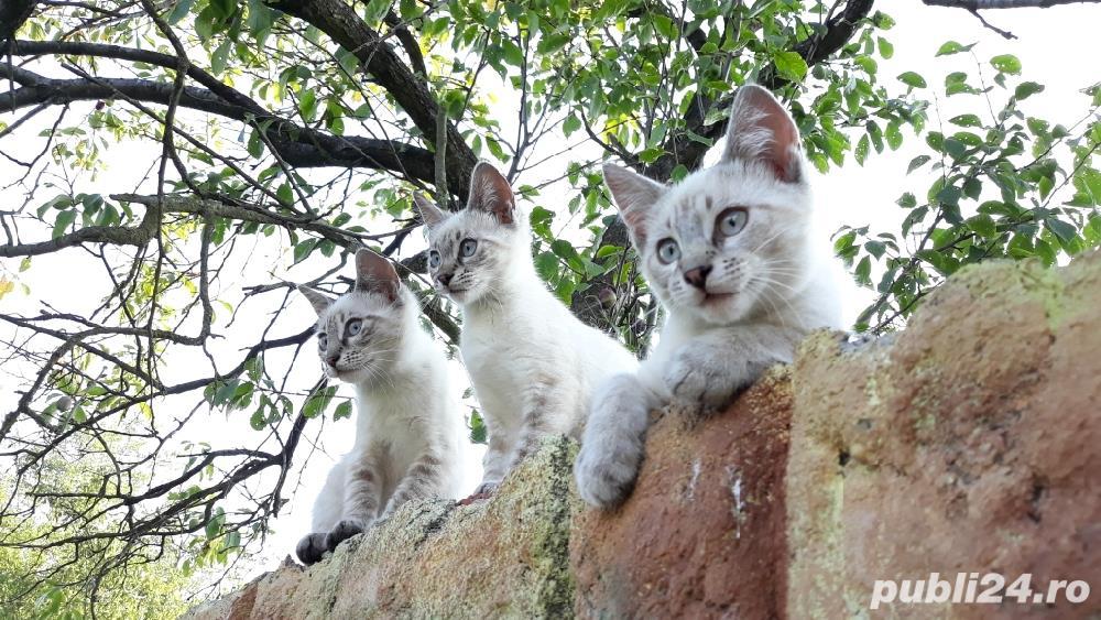Pisicute, pisica Siameza. Pisica