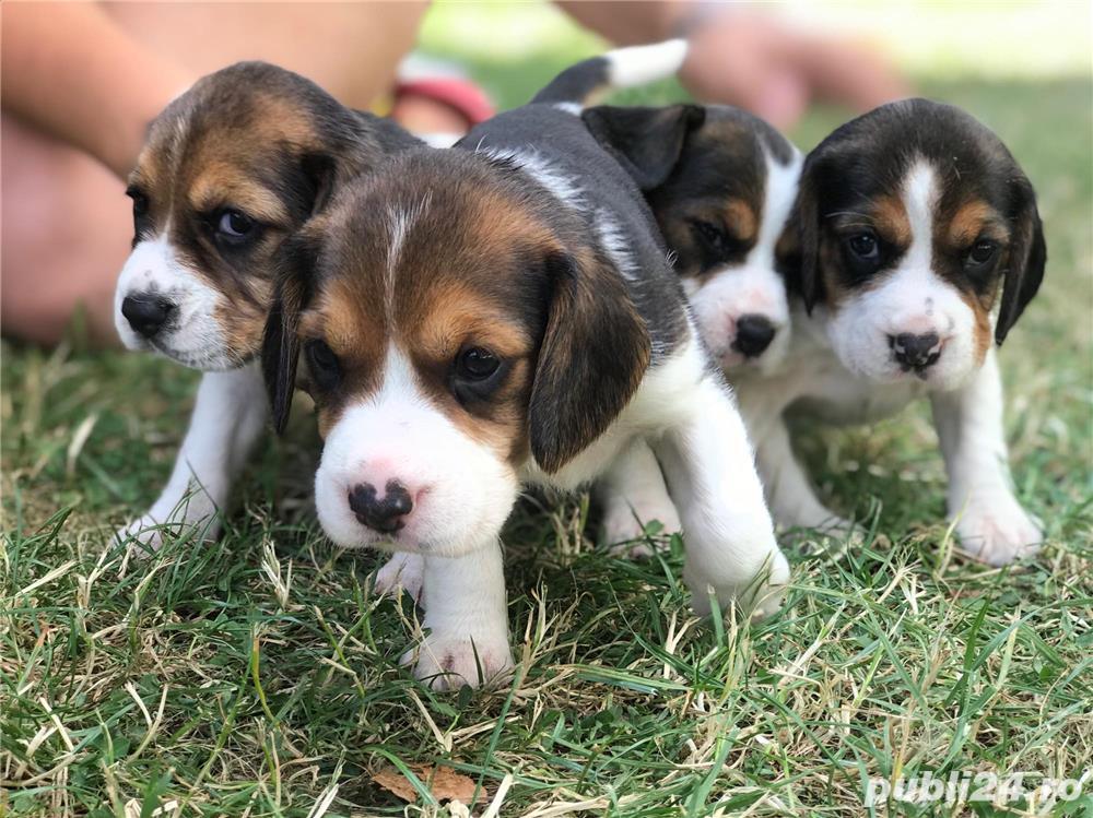 Căţeluşi Beagle