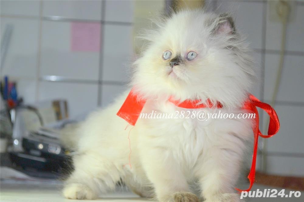 Pui pisica persana Doll Face !