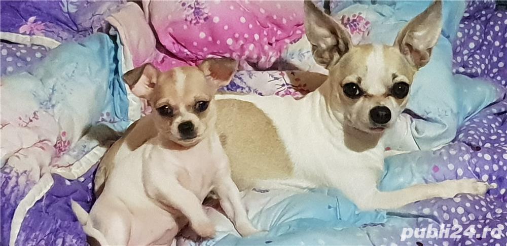 Vand Chihuahua