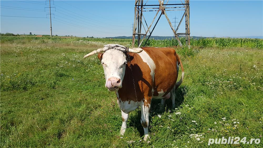 Vand vaca baltata