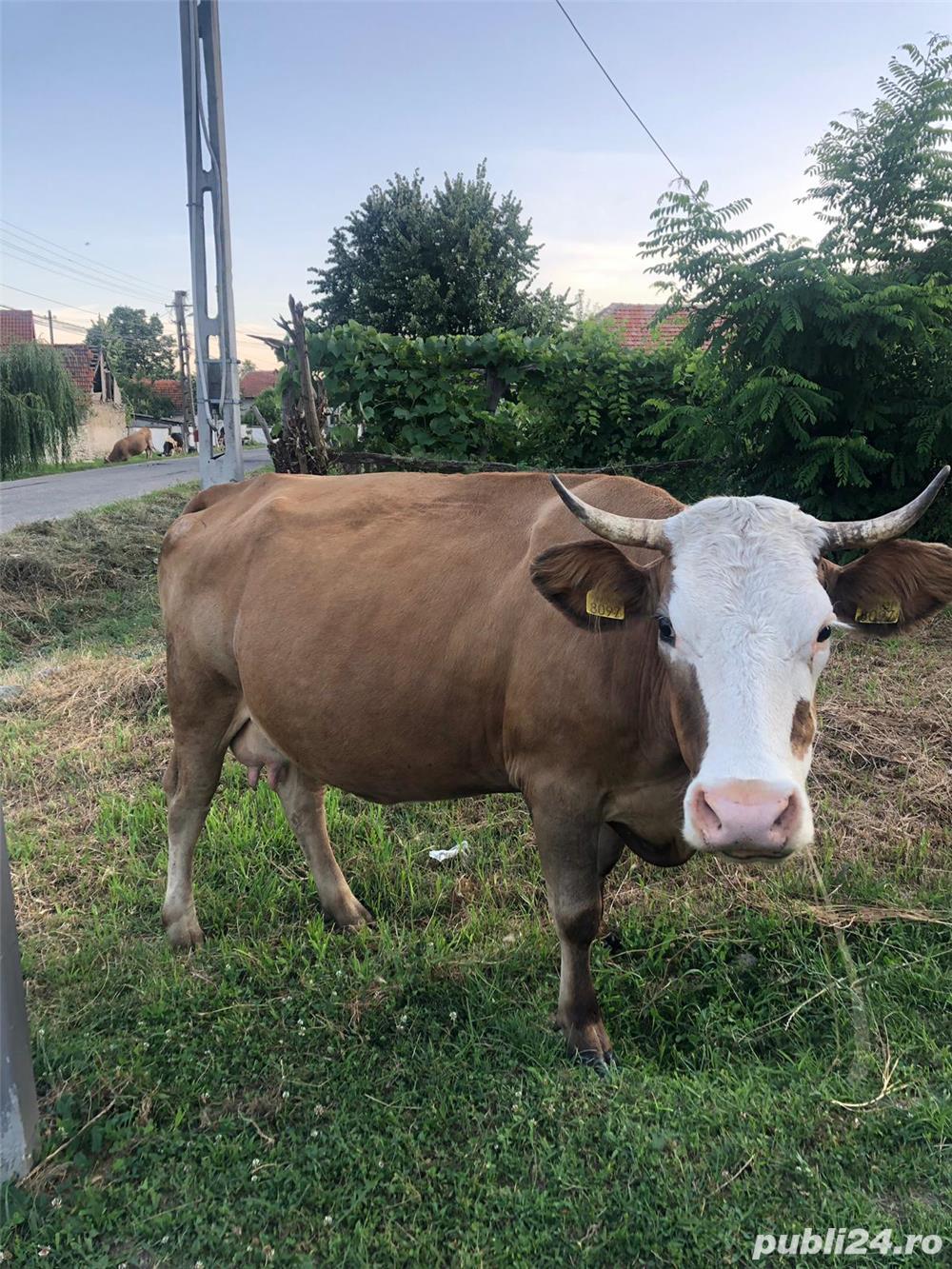 Vand vaci (vaca) rasa
