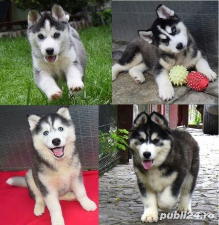 Cățeluși Husky pedigree A