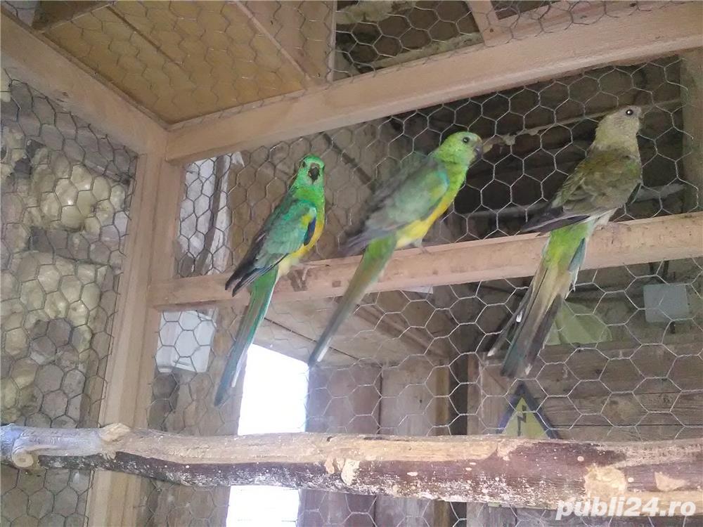 vand papagali