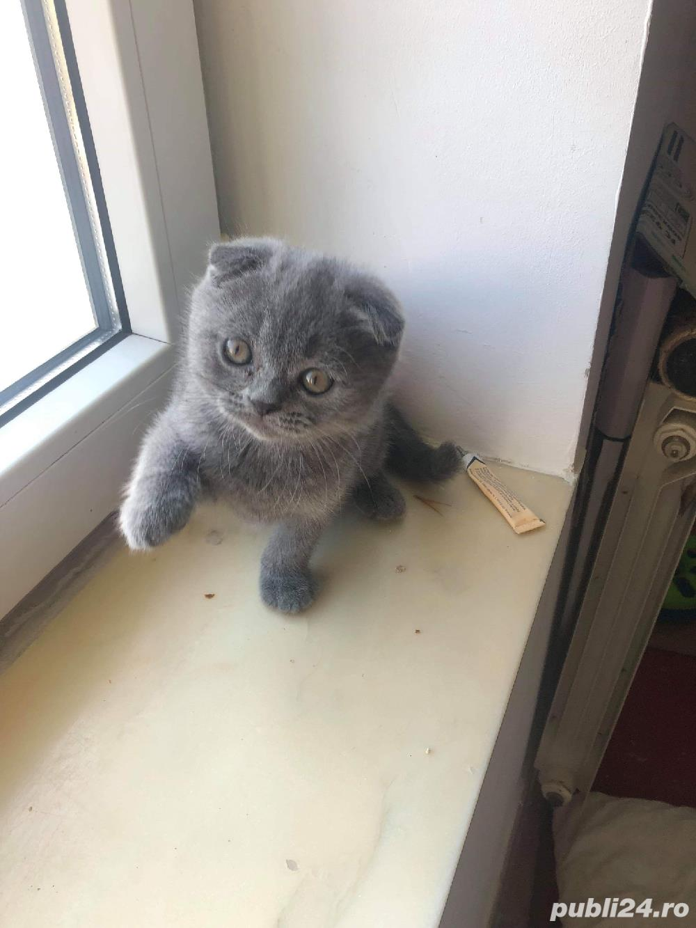 Motanel scottish fold blue