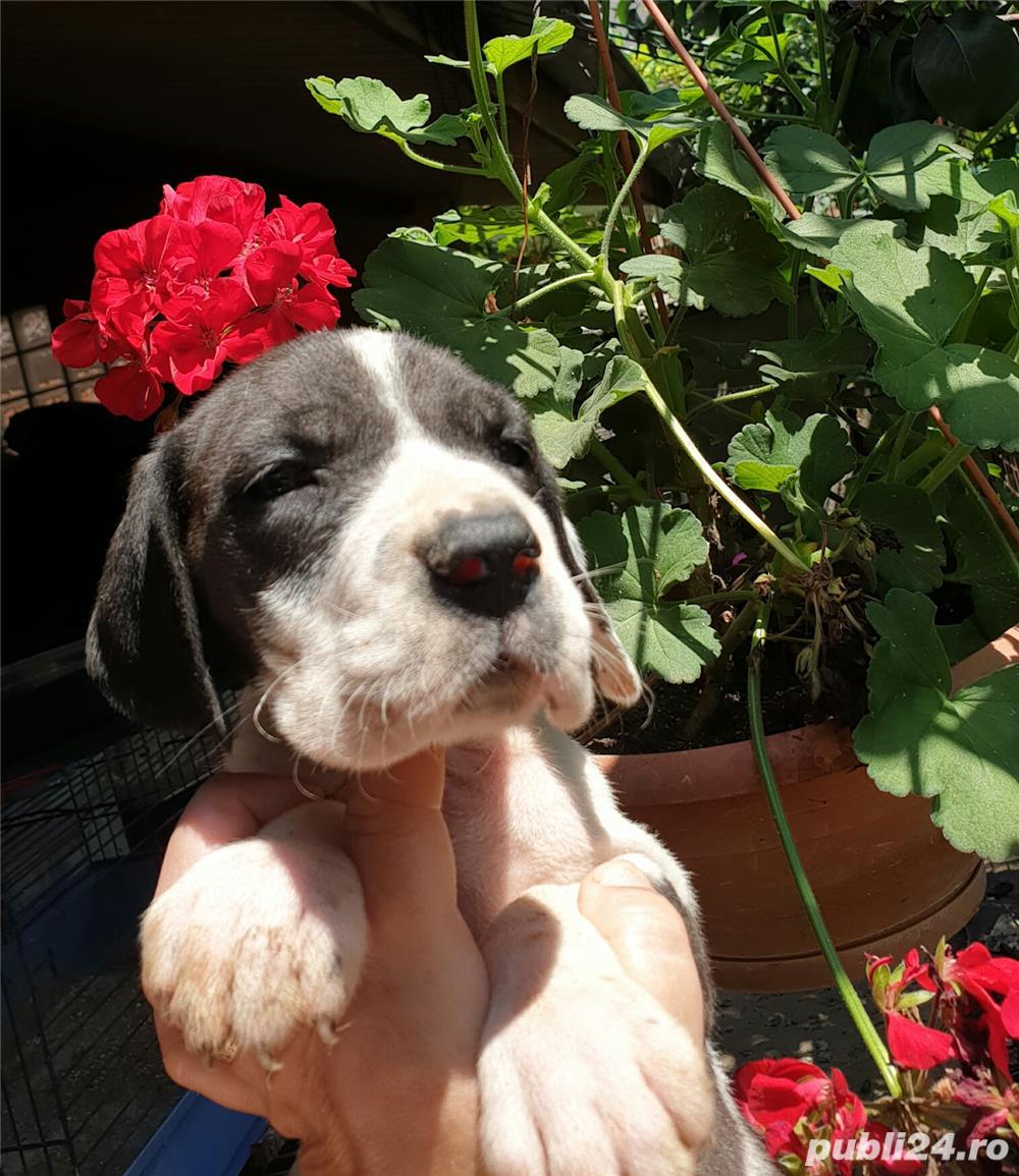 Dog german femela calitate de show