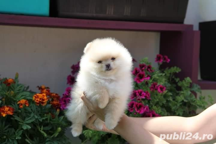 Pomeranian boo alb imaculat