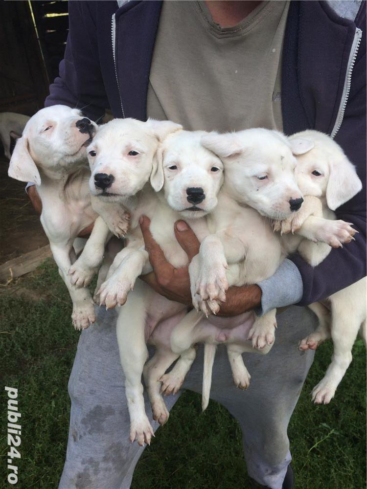 Vând cățelușii Dog argentinian
