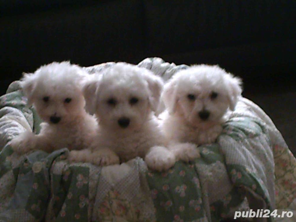 Pui caniche albi 600 ron